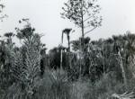 Thumbnail image: Okefenokee, c.1955