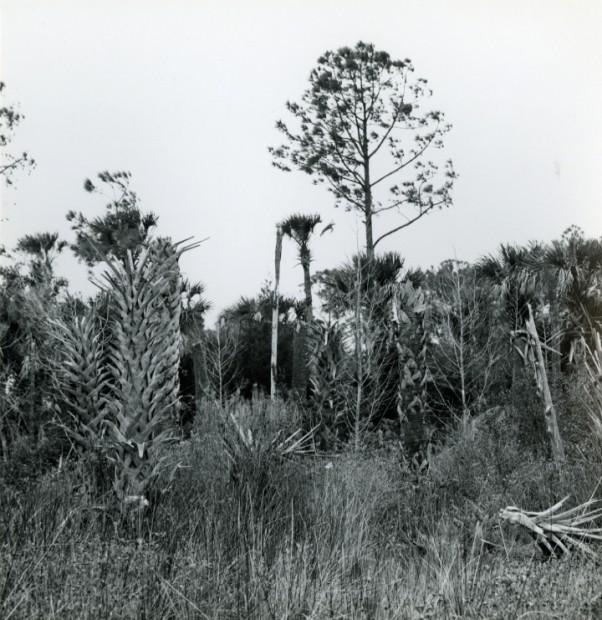Okefenokee, c.1955