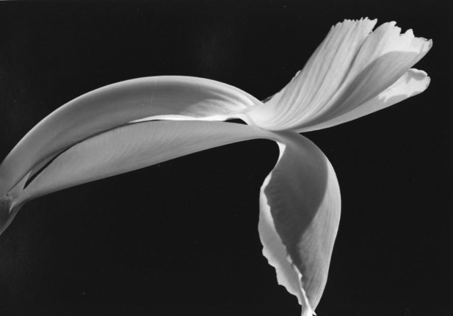 Dutch Iris, 1987