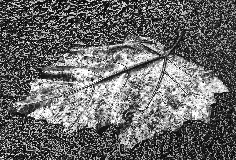 Yasuhiro Ishimoto<br>Leaves 3, Tokyo, c.1988