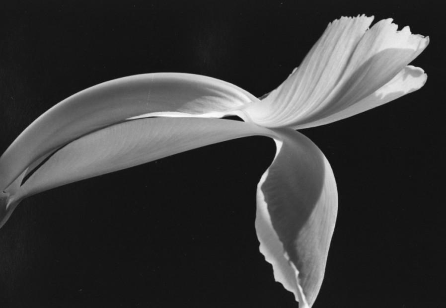 Yasuhiro Ishimoto<br>Dutch Iris, 1987