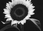 Thumbnail image: Yasuhiro Ishimoto<br>Common Sunflower, 1987