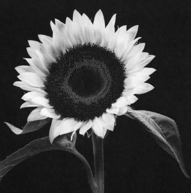 Yasuhiro Ishimoto<br>Common Sunflower, 1987
