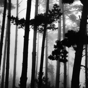 Pines and Fog, Monterey, California