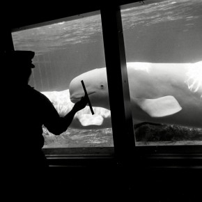 silhouette of man cleaning window at aquarium; two beluga whales look at him from opposite side of window